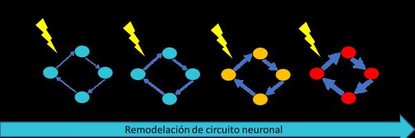 remodelación, magnética, neuronal